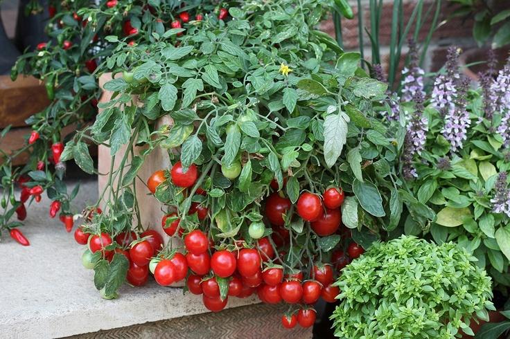 Когда сажают помидоры черри 636