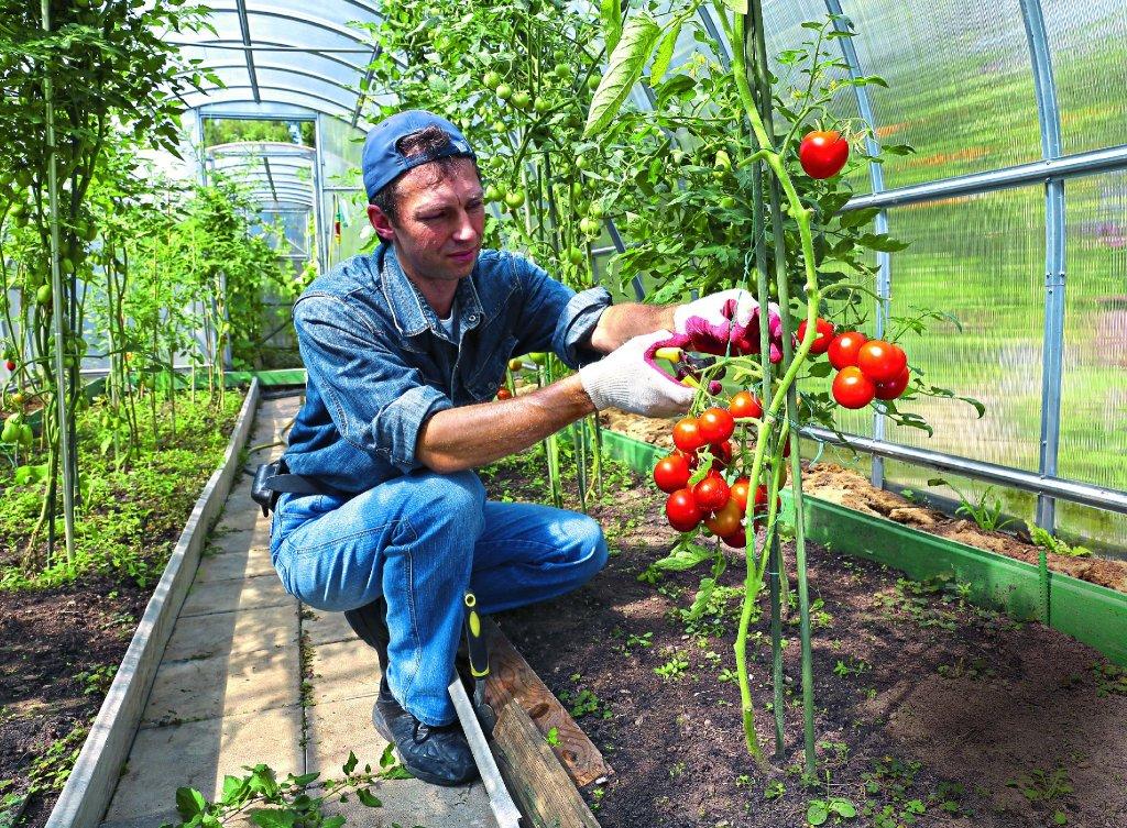 Выращивание помидор в домашней теплице 144