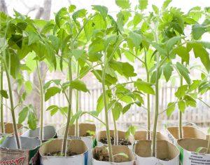 Как вырастить томат «Джина»?