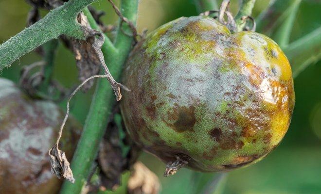 Болезни томатов в теплице и их лечение
