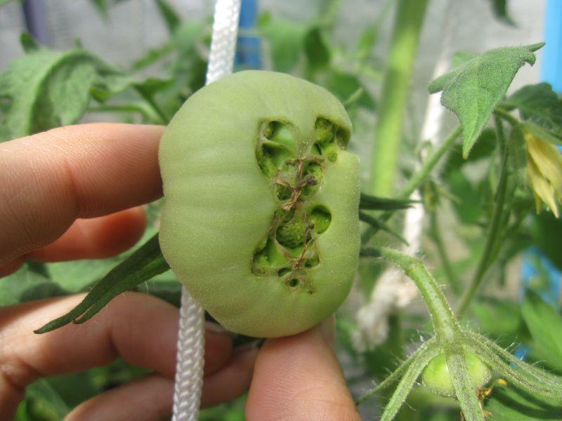 Лучшие сорта томатов: описание, отзывы, фото, характеристика
