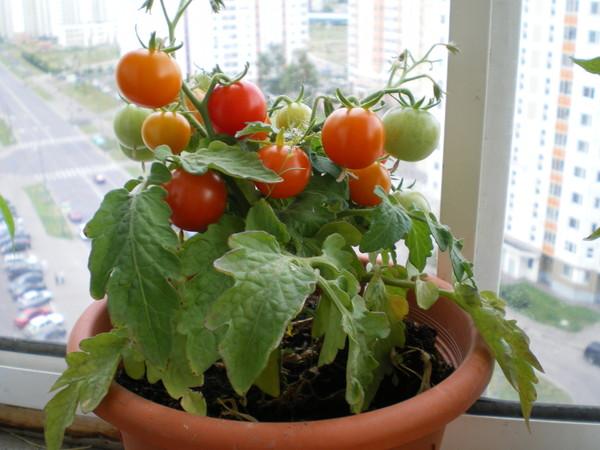 Помидоры на балконе. выращивание пошагово.