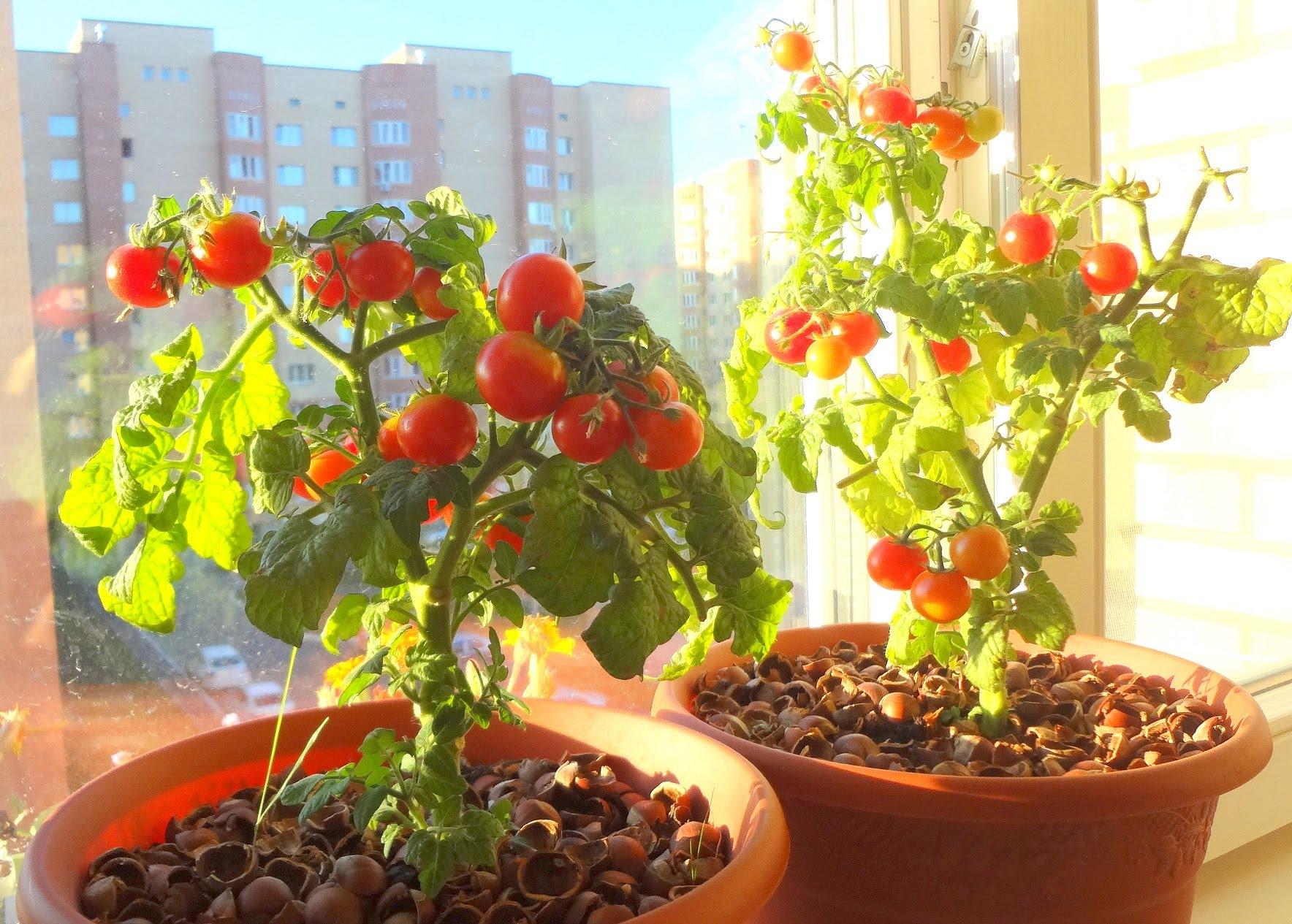 Помидоры на балконе: выращивание пошагово, как вырастить в 2