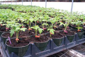 Выращивание и уход за томатом «Санька»