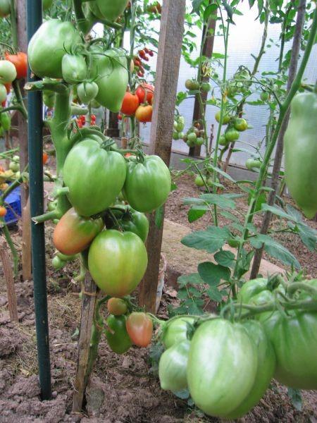 Сорт «Петруша огородник»