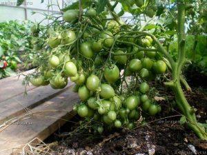 томат чио-чио-сан характеристика и описание сорта