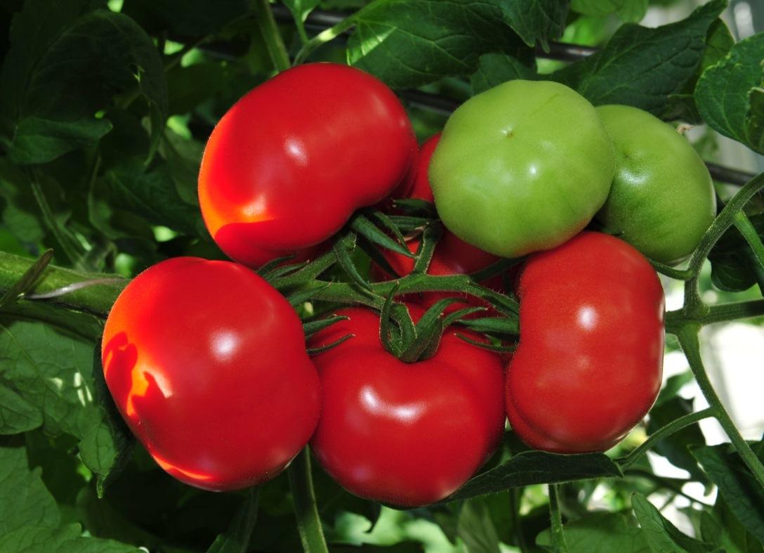 Помидоры. Выращивание томатов. Сорта и рассада 87