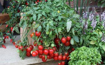 Помидоры черри на подоконнике большой урожай в домашних условиях