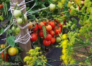 Томат Дубок: характеристика и описание сорта, фото, отзывы, достоинства и недостатки, особенности выращивания, урожайность