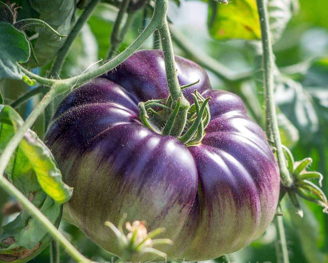 офисные шлюхи редкие сорта помидоров фото случайно словосочетание