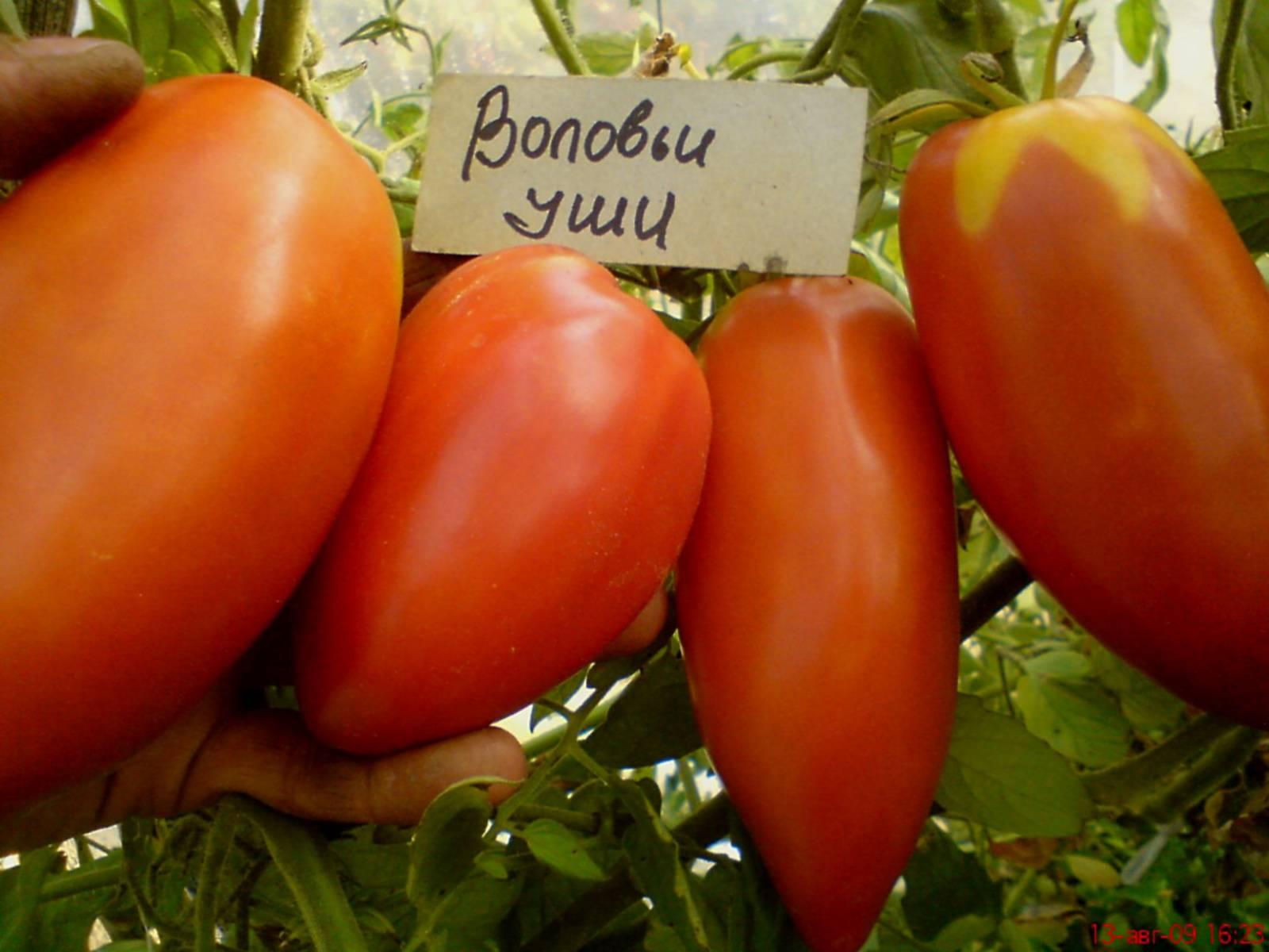 томат воловье ухо характеристика и описание сорта