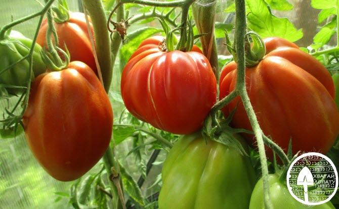 пузата хата томат фото