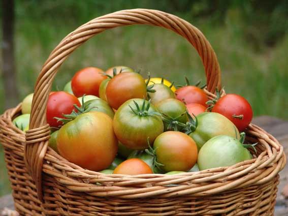 томат серебристая ель характеристика и описание сорта