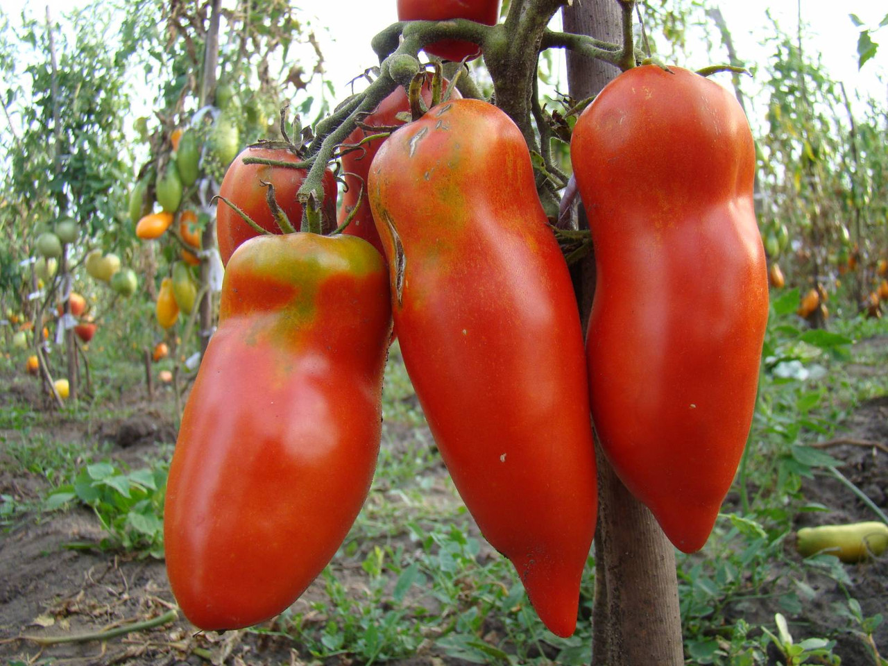 томат алый мустанг характеристика и описание сорта