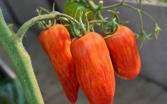 томат искры пламени, описание сорта