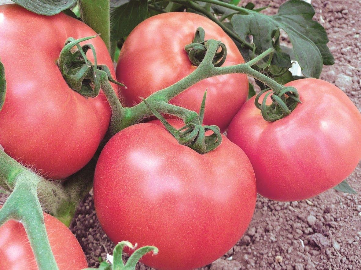 томат розовое чудо характеристика и описание сорта