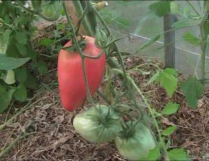 томат воловьи уши характеристика и описание сорта