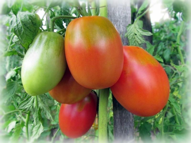 томат славянин описание сорта