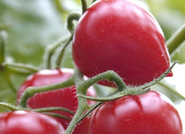 томат кемеровец характеристика и описание сорта