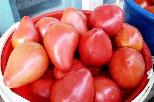томат орлиный клюв отзывы фото урожайность