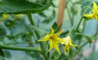 чем подкормить томаты в период цветения и завязывания плодов