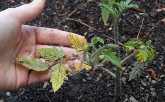 почему желтеют листья у помидор в теплице и как с этим бороться