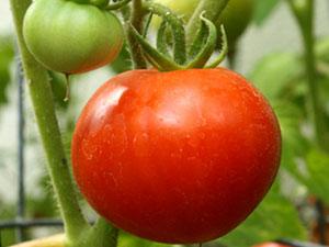 томат агата характеристика и описание сорта