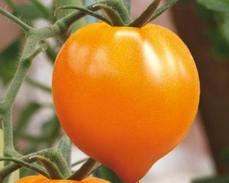томат золотое сердце описание сорта фото отзывы