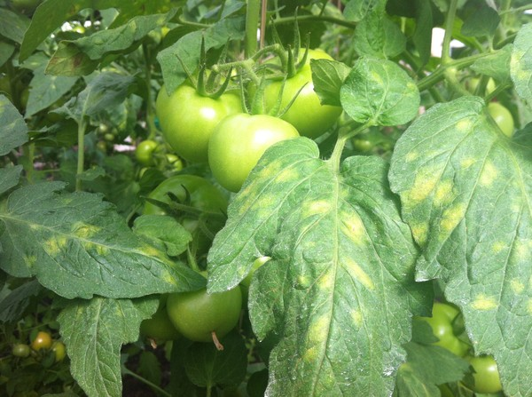 Кладоспориоз томата способы борьбы и препараты