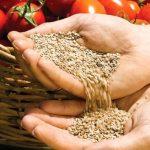 как собрать семена томатов в домашних условиях?