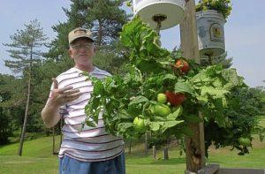 Выращиваем помидор в ракушке