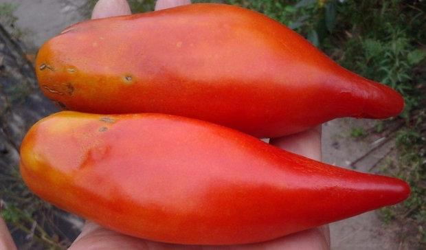томат перцевидный характеристика и описание сорта