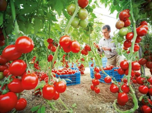 подготовка теплицы осенью под помидоры