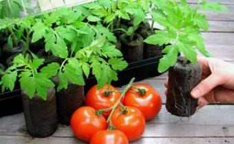 Способы выращивания рассады помидор в домашних условиях для теплицы и открытого грунта
