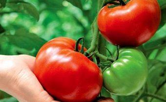 Выращивание помидоров по методу И.М. Маслова. Преимущества и недостатки способа