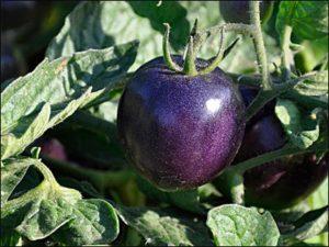 Томат Черный русский описание сорта урожайность и выращивание с фото