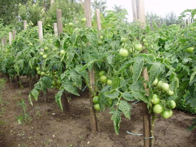 томаты клуша фото отзывы
