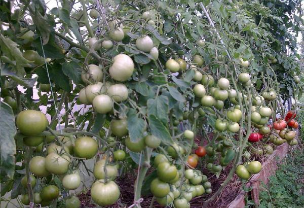 Томат Пинк Парадайз характеристика и описание сорта выращивание и уход
