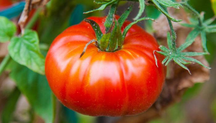 Томат алешка f1 особенности выращивания и урожайность сорта