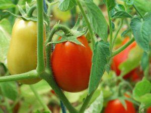 tomaty-10-300x225.jpg