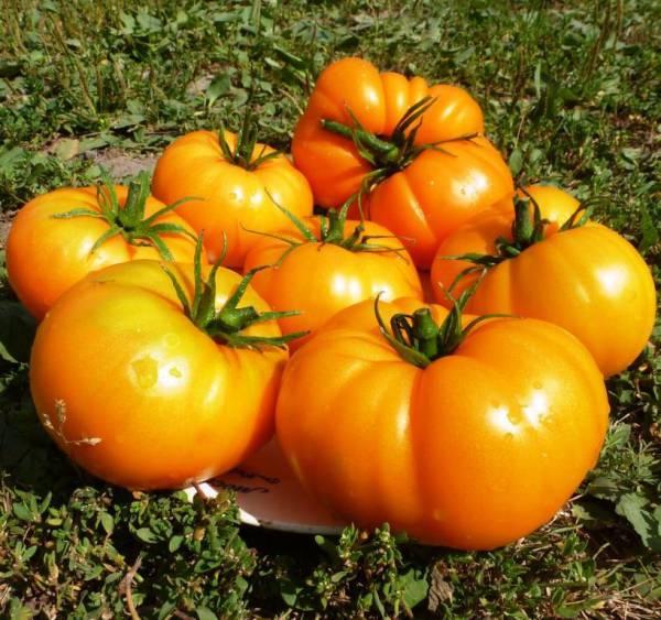 Сорт томата оранжевый гигант