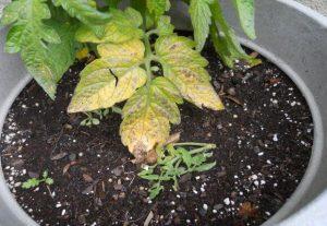 Томатная рассада пожелтели листья. Почему желтеет рассада помидор на подоконнике