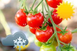 При какой температуре гибнет рассада томатов