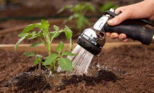 Как часто надо поливать помидоры в открытом грунте: правильный полив томатов во время цветения и плодоношения