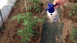 Подкормка помидоров в теплице после высадки