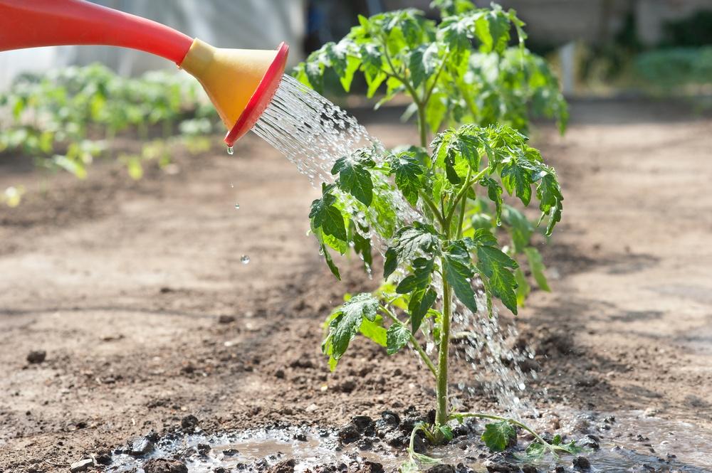 Поливать помидоры