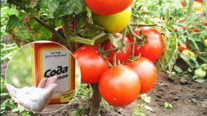 Сода для удобрения томатов