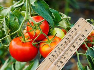 Какую температуру выдерживают помидоры