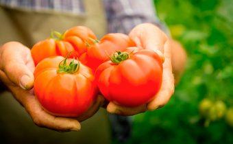 Когда собирать помидоры в теплице?