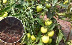 Бактериоз томатов (Бактериальное увядание)